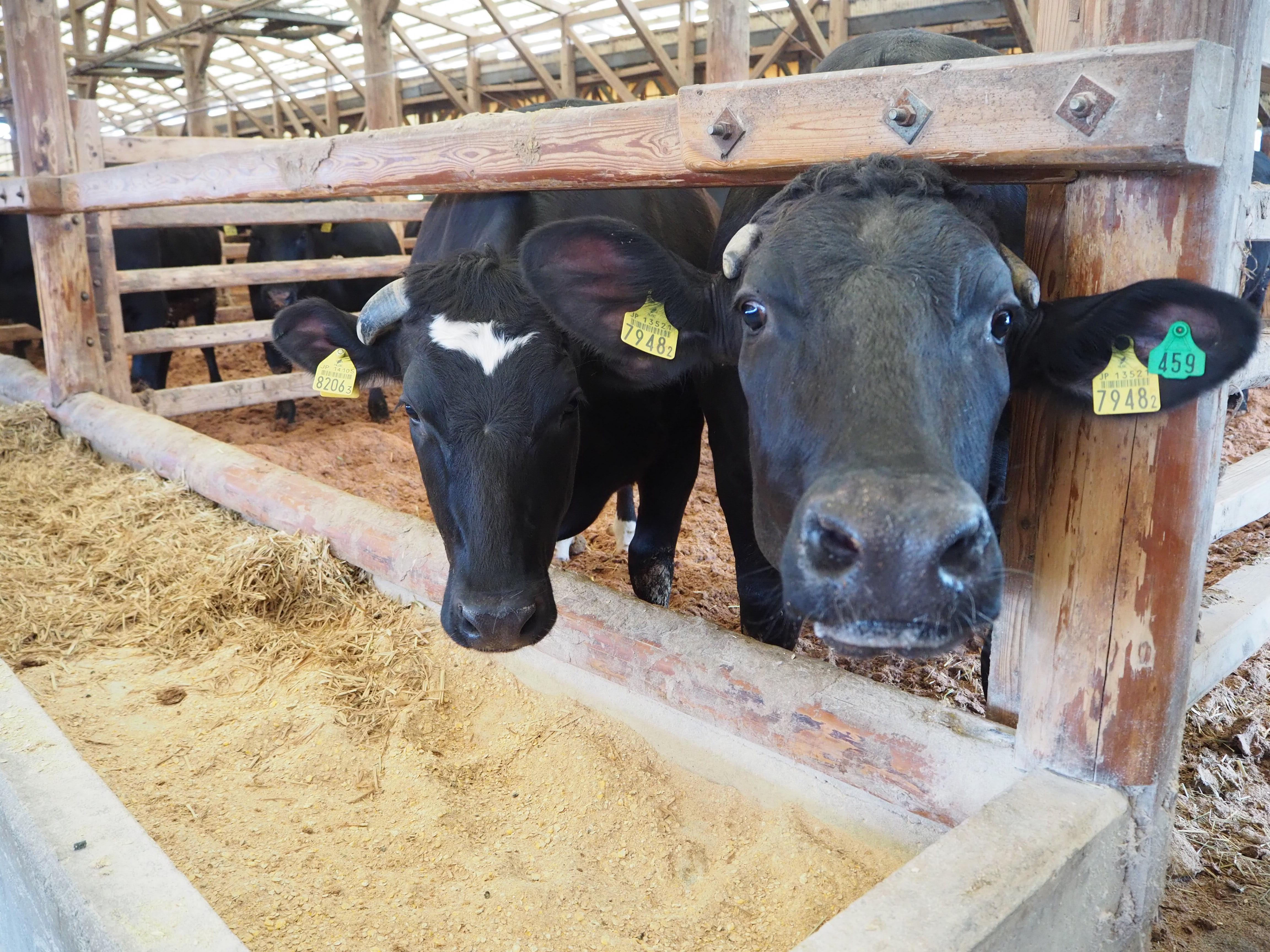 黒毛和種の牛たち