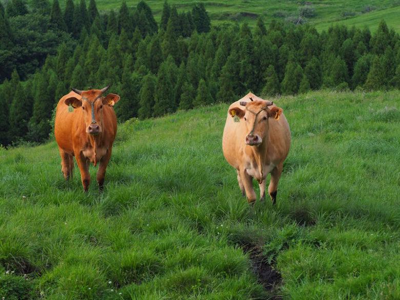 熊本あか牛の放牧の様子1