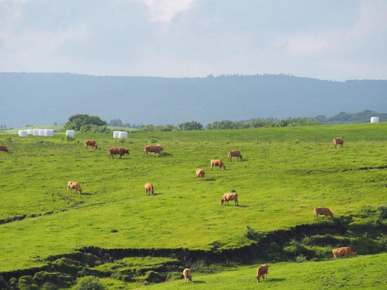 熊本あか牛の放牧の様子2